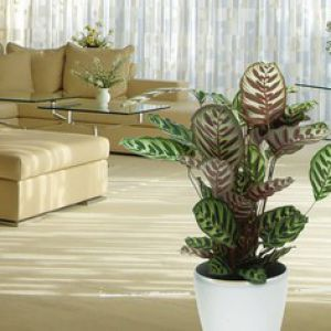 Calathea entretien rempotage arrosage for Les plantes decoratives