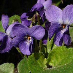 Violette plantation semis et conseils d 39 entretien - Image fleur violette gratuite ...