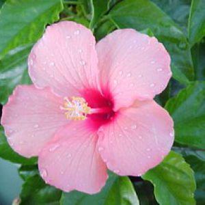Hibiscus althea plantation entretien et taille for Hibiscus entretien exterieur