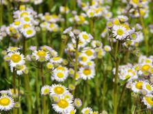 Fleabane, the rockwall daisy