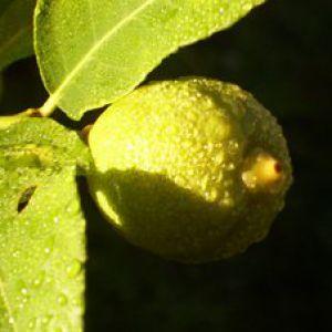 Agrumes culture hivernage engrais taille - Hivernage d un citronnier ...