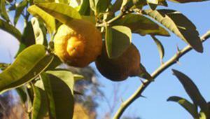 citronnier-4-saisons