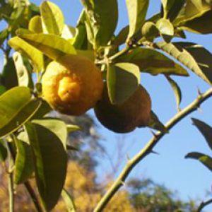 Citronnier des 4 saisons entretien - Entretien d un citronnier ...