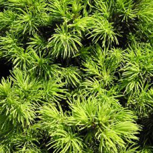 planter un juniperus