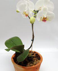 orchidee rempoter et rempotage conseils en vid o. Black Bedroom Furniture Sets. Home Design Ideas