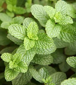Points blancs sur menthe en pot potager l gumes plantes aromatiques for - Cultiver menthe en pot ...