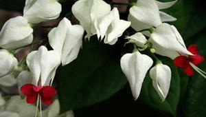 1286451141clerodendron
