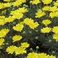 Euryops, savanna daisy