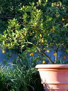 citronnier en pot entretien taille rempotage. Black Bedroom Furniture Sets. Home Design Ideas