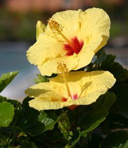 Comment Reconnaitre Un Hibiscus D Intérieur Ou D Extérieur : comment soigner un hibiscus d 39 interieur la r ponse est ~ Dallasstarsshop.com Idées de Décoration