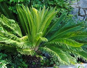 Cycas, an alternative to palm trees