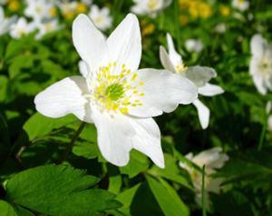 Ou planter anemone du japon for Www jardiner malin fr