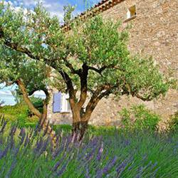 Olivier entretien taille et maladies des oliviers - Jardin taille olivier ...