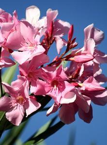 laurier rose : entretien, taille, maladies