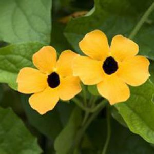 plante grimpante jaune coeur noir