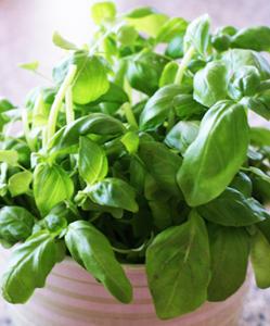 basilic en pot qui jaunit potager l 233 gumes plantes