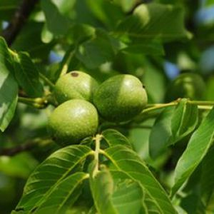 Noyer taille entretien et r colte des noix - Tailler un cerisier trop haut ...
