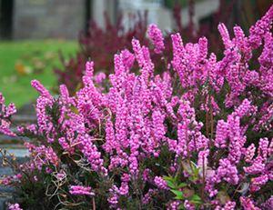 Bruy re calluna plantation et conseils d 39 entretien - Entretien orchidee apres floraison ...
