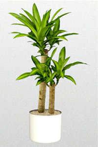 Mon dracaena massangeana commence a avoir des feuilles qui