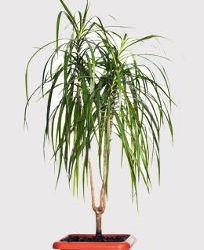 Dracaena marginata entretien engrais arrosage maladies for Maladie palmier interieur