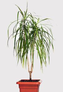 Dracaena gouttes d 39 eau collantes jeunes feuilles - Plante d interieur facile d entretien ...