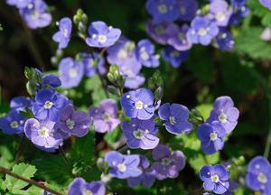 Veronique Une Plante Fleurie Facile D Entretien