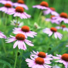 Echinacea, a superb and virtuous flower