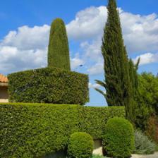 Arbres et arbustes plantation taille et conseils d 39 entretien - Cypres de leyland plantation ...