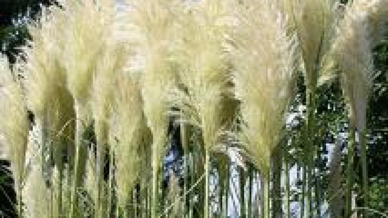 Les Plus Belles Graminées herbe de la pampa : taille et entretien