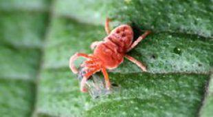 Cochenille traitement lutte et recette anti cochenilles - Comment se debarrasser des fourmis sur les arbres fruitiers ...