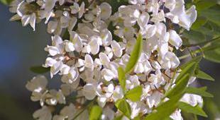 Mimosa plantation taille et conseils d 39 entretien for Taille d un albizia