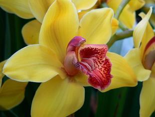 Cymbidium : conseils d\'entretien d\'une superbe orchidée
