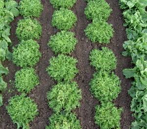 Fris e culture semis entretien r colte for Entretien salade jardin