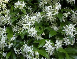 Indian jasmine, flower-bearing and fragrant