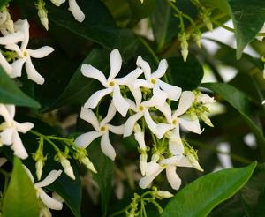 Star jasmine, a very fragrant vine