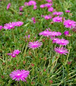 Delosperma cooperi pourpier vivace nos conseils d 39 entretien for Entretien plantes vivaces