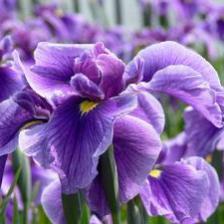 iris barbus