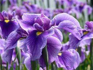Iris barbus plantation et conseils d 39 entretien for Entretien iris jardin