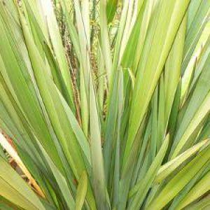 Phormium plantation taille entretien for Plante decorative jardin