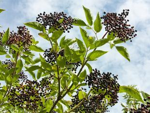 Sureau plantation taille et entretien - Arbre murier fruit comestible ...
