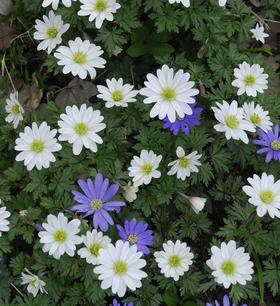 Grecian windflower, superb flowers