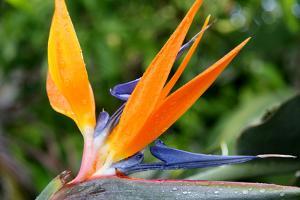 Quand planter oiseau du paradis for Www jardiner malin fr