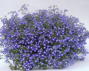 Lobelia Growing It And Advice On Caring For It