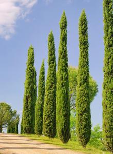 cypr s avec branches lourdes qui pendent arbres arbustes et rosiers forum du jardin et. Black Bedroom Furniture Sets. Home Design Ideas
