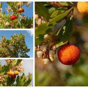 Arbre aux fraises entretien taille maladies - Arbre murier fruit comestible ...