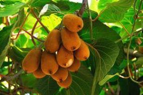 arbre à kiwi actinidia