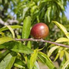 Nectarine, the tree that bears nectarines
