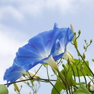 Ipomoea or oceanblue morning glory