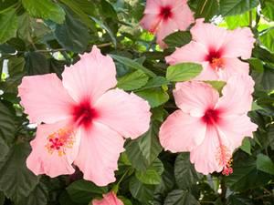 Rose De Chine Floraison Arrosage Et Conseils Dentretien