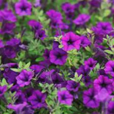 petunia archives jardiner malin jardinage et recettes de saison. Black Bedroom Furniture Sets. Home Design Ideas